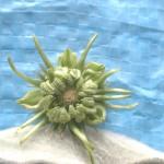 カレンデュラの種子