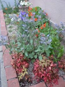 camomille herb garden
