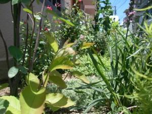 camomille herb gardenの夏